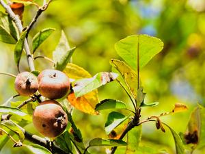 Shot of Dogwood Tree Fruit