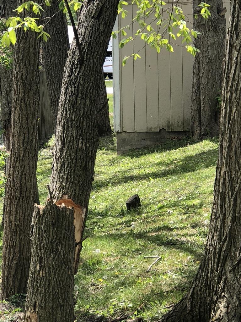 Split Ash Tree